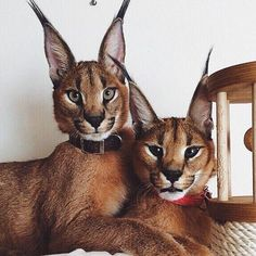 Science Discover Good night Cute Baby Animals Animals And Pets Funny Animals Wild Animals Cool Cats I Love Cats Beautiful Cats Animals Beautiful Caracal Cat I Love Cats, Crazy Cats, Cool Cats, Cute Baby Animals, Animals And Pets, Funny Animals, Wild Animals, Warrior Cats, Beautiful Cats