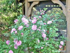 Growing Rugosa Roses - Photo: © Marie Iannotti