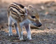 This one can be found in many places: from North and Central Europe to North Africa's Atlas Mountains. The Wild boar, or wild pig, is the ancestor of the domestic pig. How cute is this wild boar piglet!