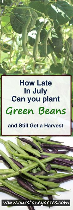 As summer progresses there are fewer warm season crops that you will be able to plant and still have a dependable harvest. A late planting of beans is one crop you can usually plant in mid summer and still get a harvest.