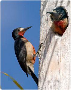Puertorican Woodpecker