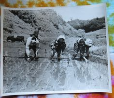 '49 Post WWII ARMY Pic - Japanese Life Planting Rice Yoshida Shimane Prefecture Shimane, Planting, Worlds Largest, Wwii, Army, Rice, Military, Japanese, The Originals