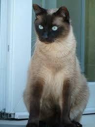 Resultado de imagen para gato siames animado mujer