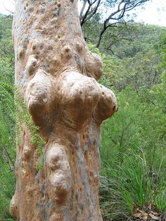 Angophora trunk form