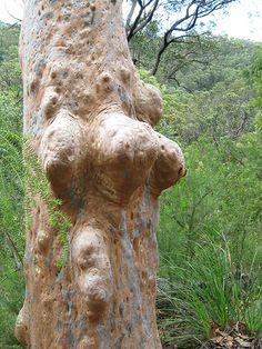 Angophora trunk form