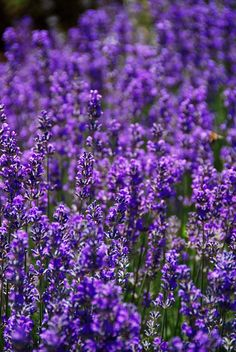 Lavender is by far my favorite herb and essential oil to play with!