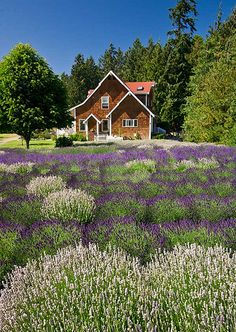 _WA-Purple-Haze-Lavender-Farm_ | Flickr - Photo Sharing!