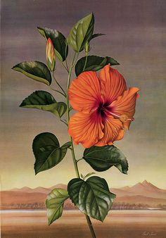 Paul Jones. Hibiscus rosa-sinensis Topsy