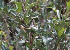 South Australian Plants - Proteaceae