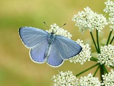 Butterfly Conservation is a British charity devoted to saving butterflies, moths and their habitats throughout the UK. Holly Blue, Big Butterfly, British Wildlife, Black Wings, How To Grow Taller, Early Spring, Late Summer, Image Types, Black Spot