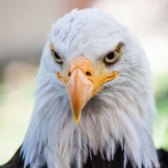 Bald Eagle Bird of Prey Photography by Liz by CosmosCoolSupplies, $20.00