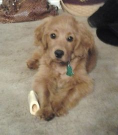 I want one of these! Golden/cocker spaniel mix!  Isn't he cute?