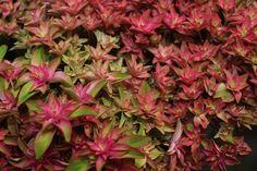#Hydrangea #Hortensia #Desire: Available at www.barendsen.nl
