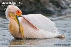Great white pelican preening