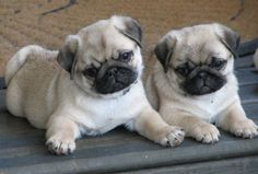 two pugs are better than one - more at megacutie.co.uk