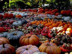 ©pennysadler 2012 Pumpkin patch at the Dallas Arboretum Weekend In Dallas, Dallas Arboretum, Las Vegas Shows, Corn Maze, The Ranch, Autumn Inspiration, Spooky Halloween, Fall Pumpkins, Gourds
