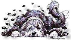Bearded Collie Being Lazy