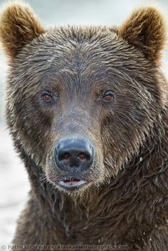Baby Panda Bears, Polar Bear, Baby Pandas, Red Pandas, Grizzly Bears, Teddy Bears, Bear Pictures, Animal Pictures, Bear Photos