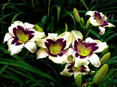 """Daylilies (Spring-Planted) - """"Moonlight Masquerade"""""""