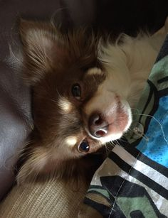 Effective Potty Training Chihuahua Consistency Is Key Ideas. Brilliant Potty Training Chihuahua Consistency Is Key Ideas. Long Coat Chihuahua, Chihuahua Love, Chihuahua Puppies, Chihuahuas, Pomeranian Dogs, Teacup Chihuahua, Pomeranians, Online Pet Supplies, Dog Supplies