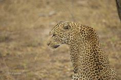 L'elusivo leopardo al Kruger National Park