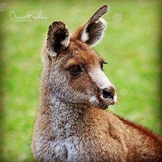 #kangaroo #ig_mood #currumbinwildlifesanctuary #nature #nationaltrustcurrumbinwildlifesanctuary #aussiephotos #australianshotz #australia #ig_captures #ig_nature #visitgoldcoast #phototag_it #photography #sigmamoments #rsa_nature by di_korhecz_photoart http://ift.tt/1X9mXhV