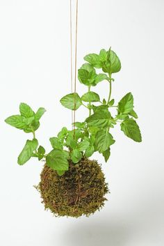 10 Easy Pieces: Kokedama Plants by Michelle Slatalla:  Kokedama herb mint string garden ; Gardenista