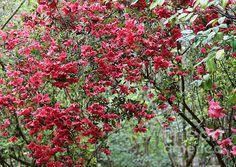 """Azalea Dream"" by Carol Groenen  #azaleas #azalea #southerncharm"