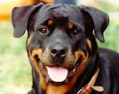 Love, love love rottweilers!