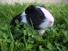 Guinea Pig!this looks just like my piggy <3