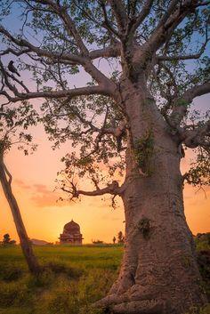 https://flic.kr/p/zttDXu | Baobab. Mandu, India | Baobab tree at sunset and ruins near Mandu village, Madhya Pradesh, India.