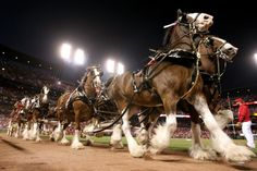 The Anheuser-Busch Clydesdales