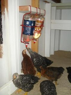 awesome chicken waterers - and you can keep them refrigerated in the summer to give cool water