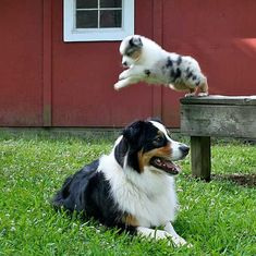 Australian Shepherd Photo of the Month — Photo: Amanda Warrington, Aussies: Charlie and Danny #AustralianShepherd