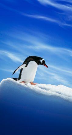 """beautiful-wildlife: """" Penguin by Sander van Maurik """""""