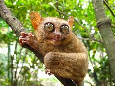 "The Philippine Tarsier - Bohol. These Tarsiers does not do well in captivity that they have a tendency to ""commit suicide"". Camera flashes, being touched and being in an enclosure stresses them out, causing them to hit its head against ""objects"" which kills it because of the thin skull."