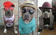 Instagram's most dapper dog: Evelyn Ramirez and her boyfriend Juan Manuel QuiÒonez have been dressing up their pitbull terrier Chango for a set of fashion photoshoots. Chango's Instagram account, which is aptly called 'Chango The Handsome Pittie' already has over 13,300 followers and his fans are growing by the day.