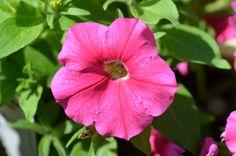 Petunia hybrida Pegasus 'Table Rose'