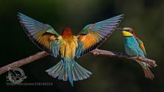 European Bee-eater by Eugenijus Kavaliauskas Bee Eater, World Photography, Photo Series, Professional Photographer, Beautiful World, Parrot, Elephant, Birds, Animals