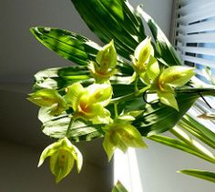 Catasetum fimbriatum X Joe O'Regan 'The Lady Rose (willambera) Tags: orchid flower x catasetum fimbriatum joeoregantheladyrose catfimbriatumxjoeoregantheladyrose