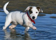 A lovely little pic of a Jack Russell Terrier in the water.  #puppied