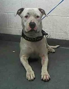 JIMMY (A1709765) I am a male white and brown American Bulldog. The shelter staff think I am about 1 year old. I was found as a stray and I may be available for adoption on 07/12/2015. Miami Dade https://www.facebook.com/urgentdogsofmiami/photos/pb.191859757515102.-2207520000.1436268859./1007235729310830/?type=3&theater
