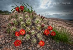 Cactus Blossom, Enchanted Rock by DaveWilsonPhotography, via Flickr