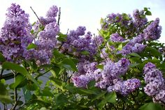 I LOVE lilacs. They smell beautiful and put me into such a happy mood. But the question is where to plant them. A lilac bush can get HUGE.