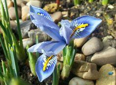 20 Bulbs of Dwarf Iris Reticulata Cantab, Blue w/Intricate Yellow White Flowers Beauty Plant Planting Bulbs, Planting Flowers, Iris Reticulata, Dwarf Iris, Iris Rhizomes, Dutch Iris, Perennial Bulbs, Gladiolus Flower, Seeds For Sale
