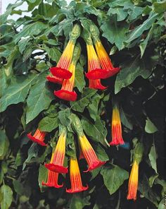 The Garden of Eaden: HOW TO GROW BRUGMANSIA - The Angels Trumpet