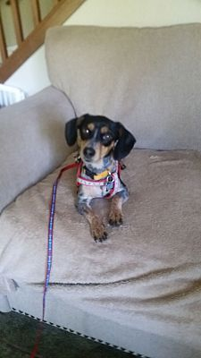 Roy Wa Dachshund Meet Baby A Dog For Adoption Pets