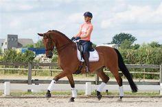Paarden te koop: Dutch Lennox