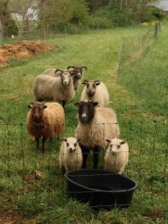 Icelandic sheep in Tennessee