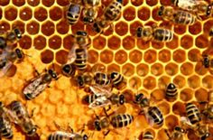 Top 10 Uses and Health Benefits of Bee Propolis http://www.healthdigezt.com/top-10-uses-and-health-benefits-of-bee-propolis/